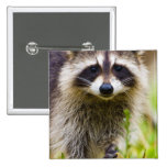 The racoon, Procyon lotor, is a widespread, 3 Badge