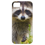 The racoon, Procyon lotor, is a widespread, 3 iPhone 5 Covers