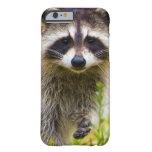 The racoon, Procyon lotor, is a widespread, 3 Barely There iPhone 6 Case