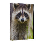 The racoon, Procyon lotor, is a widespread, 3 iPad Folio Cases