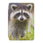 The racoon, Procyon lotor, is a widespread, 3 iPad Mini Cover