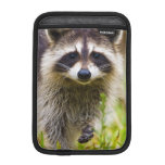 The racoon, Procyon lotor, is a widespread, 3 iPad Mini Sleeves