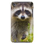The racoon, Procyon lotor, is a widespread, 3 iPod Touch Cover