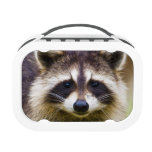 The racoon, Procyon lotor, is a widespread, 3 Lunchbox