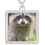 The racoon, Procyon lotor, is a widespread, 3 Jewelry