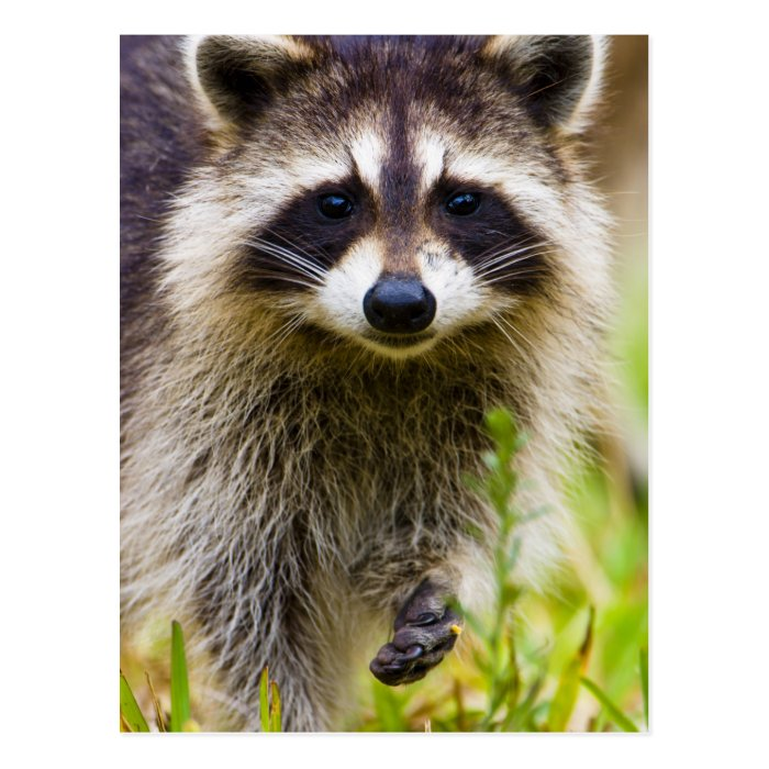 The racoon, Procyon lotor, is a widespread, 3 Postcard