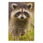 The racoon, Procyon lotor, is a widespread, 3 Wood Prints