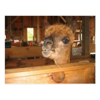 """the real money's in alpacas"" postcard"
