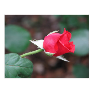 The Red Rose Postcard