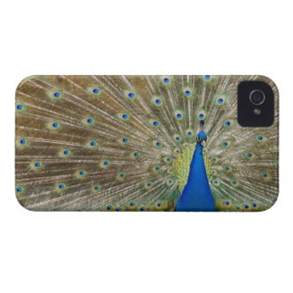 The resident male peacock fans his feathers in Case-Mate iPhone 4 cases