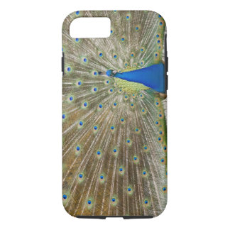 The resident male peacock fans his feathers in iPhone 8/7 case