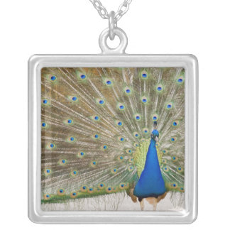 The resident male peacock fans his feathers in silver plated necklace