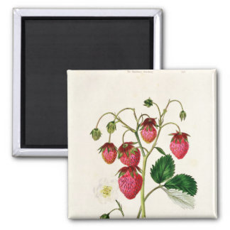 The Roseberry Strawberry, engraved by Watte Square Magnet