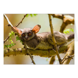 The Senegal Bushbaby (Galago Senegalensis) Card