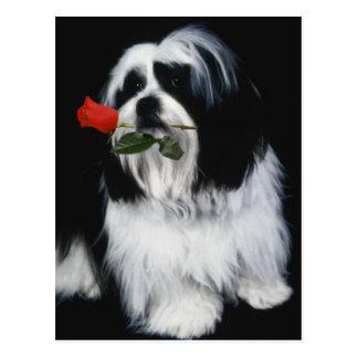 The Shih Tzu Dog Postcard