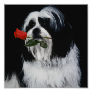 The Shih Tzu Dog Poster