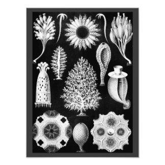 The Sponge of the Sea - Naturalist Image 1904 Art Photo