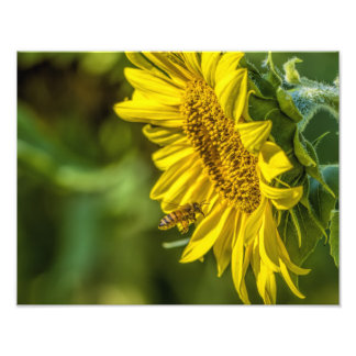 The Sunflower and the Honeybee Photo Print
