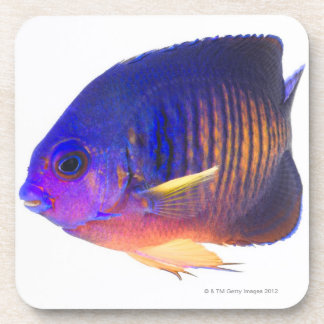 The two-spined angelfish coaster