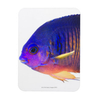 The two-spined angelfish rectangular photo magnet