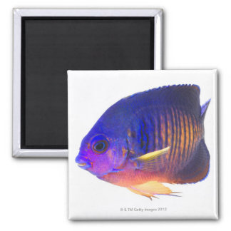 The two-spined angelfish square magnet