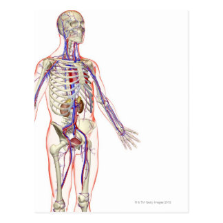 The Urinary System 2 Postcard