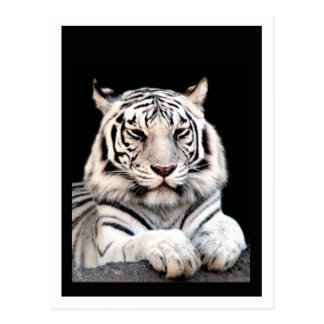 The White Bengal Tiger Postcard
