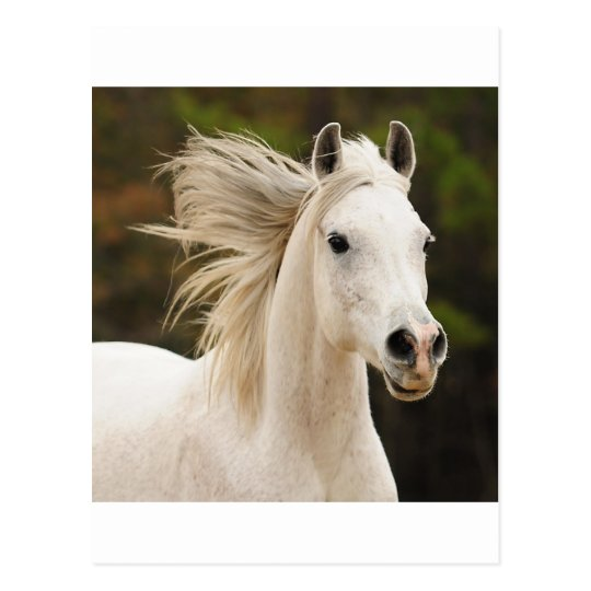 The White Stallion Postcard