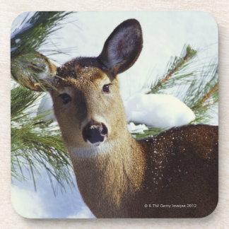The White-tailed deer (Odocoileus virginianus), Coaster