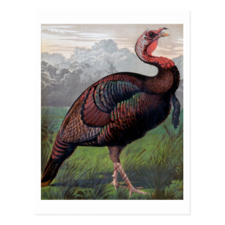 The Wild American Turkey Cock, illustration from ' Postcard