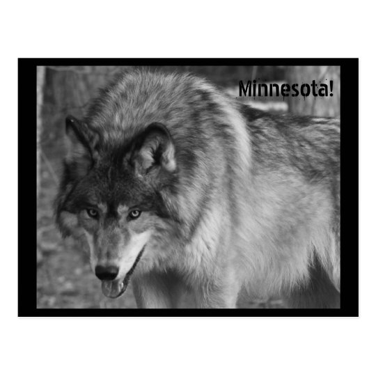 The Wolves of Minnesota! Postcard