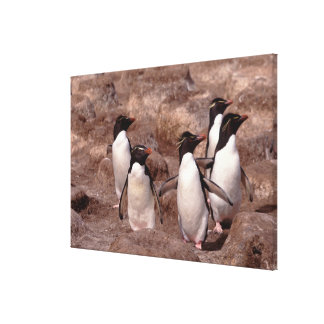 These five Rockhopper Penguins (Eudyptes Canvas Print