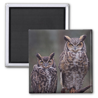 These Great Horned Owls (Bubo virginianus), Magnet