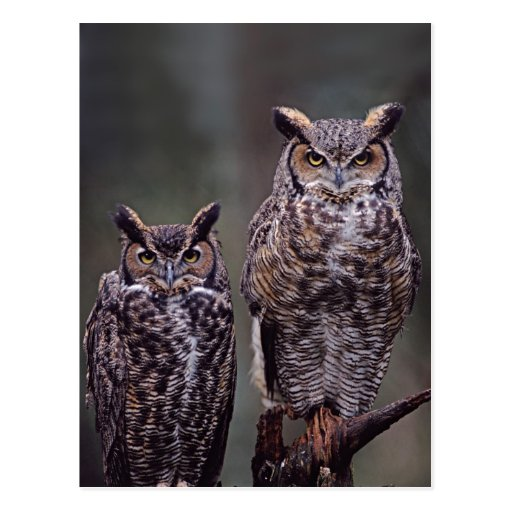 These Great Horned Owls (Bubo virginianus), Post Card