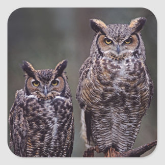 These Great Horned Owls (Bubo virginianus), Square Sticker
