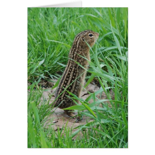Thirteen-lined Ground Squirrel Card