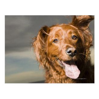 This dog is part golden retriever. postcard