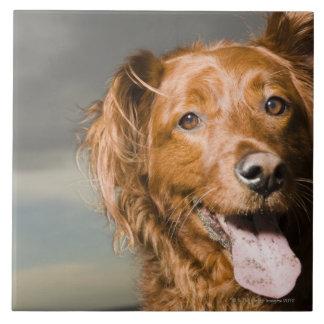 This dog is part golden retriever. tile