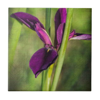 This is a Louisiana Gamecock Wildflower - Iris hex Small Square Tile