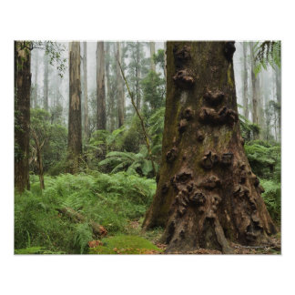 This remarkable tree grows in the Dandenong Poster