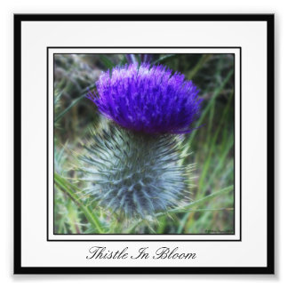 Thistle In Bloom Photo Print