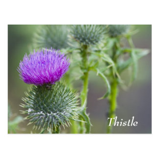 Thistle Postcard