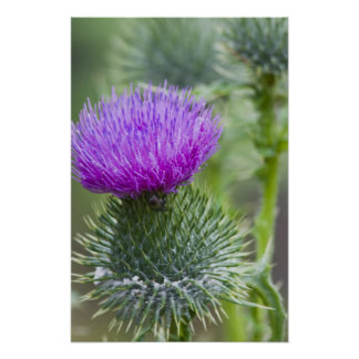 Thistle Posters