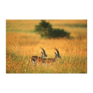 Thomson's Gazelle (Gazella Thomsonii) At Dawn Gallery Wrapped Canvas