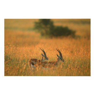 Thomson's Gazelle (Gazella Thomsonii) At Dawn Wood Wall Decor