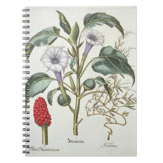 Thorn Apple, from the 'Hortus Eystettensis' by Bas Notebooks