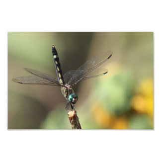 Thornbush Dasher Dragonfly, Blurred Sunflowers Photo Print