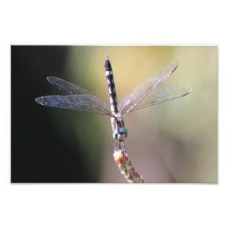Thornbush Dasher Dragonfly, Glimmering Wings Photo Print