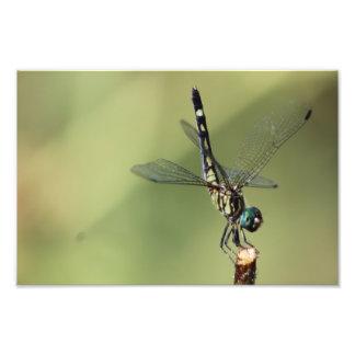 Thornbush Dasher Dragonfly, Glistening Eyes Photo Print