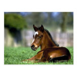Thoroughbred Horse, Ireland Postcard